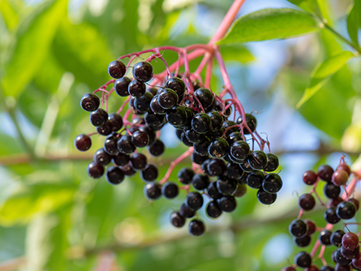 Elderberry on branch tree
